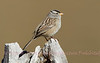 White- Crowned Sparrow