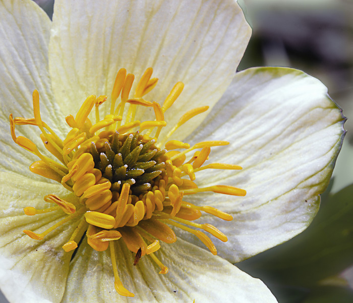 Globeflower<br /> Beartooth plateau, MT