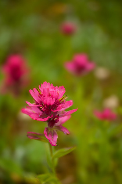 Paintbrush, Horseshoe Lake, Absaroka-Beartooth Wilderness, MT