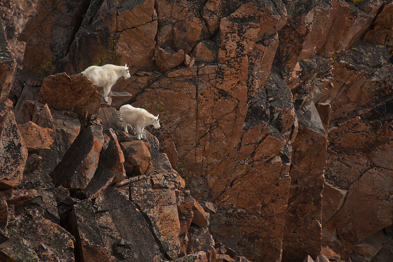 Mountain Goats, Granite Peak, MT