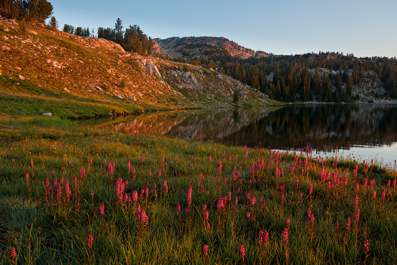 Showy Locoweed Catching the Early Morning Sun, Owl Lake, Lake Plateau, Absaroka-Beartooth Wilderness, MT