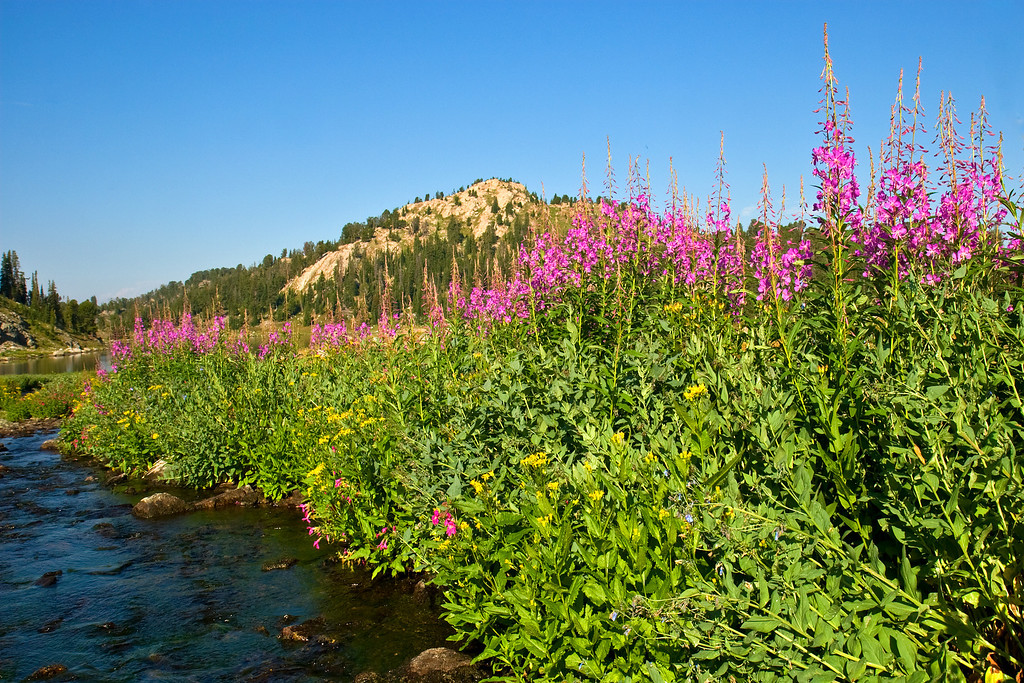 Fireweed near Martin Lake, Absaroka-Beartooth Wilderness