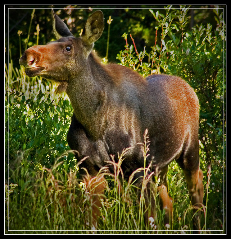 Curious Calf Moose.  Taken near Cooke City, MT