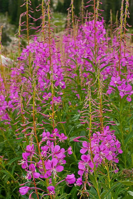 Fireweed at Martin Lake #2, Absaroka-Beartooth Wilderness