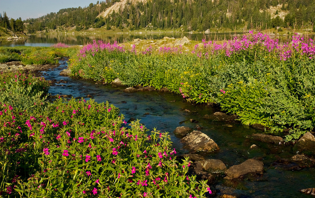 Wildflowers, Martin Lake, Absaroka-Beartooth Wilderness
