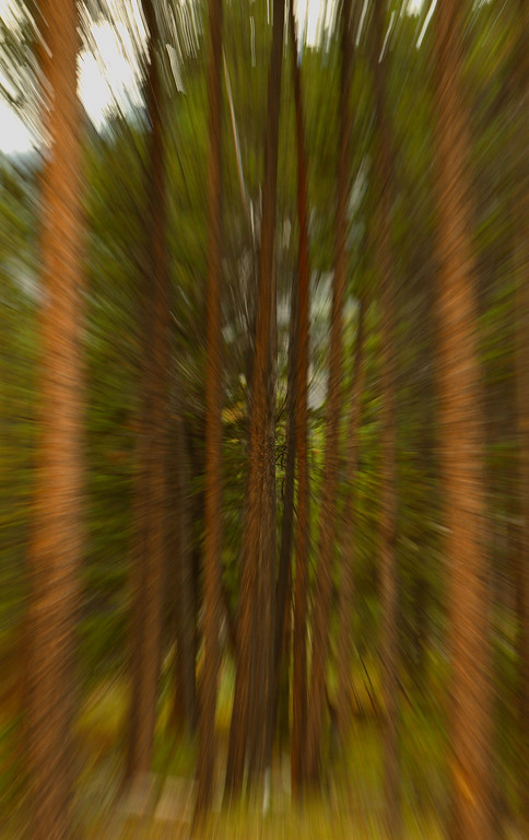 Lodgepole Pine - Lens zoom effect, Absaroka-Beartooth Wilderness