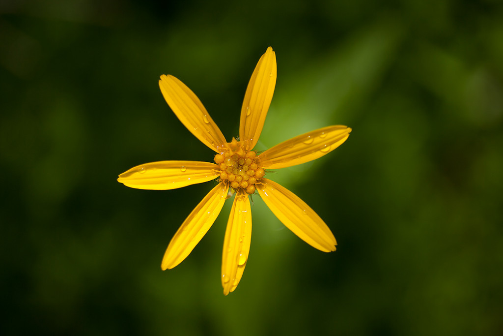 Arnica, Lake Plateau Region, Absaroka-Beartooth Wilderness