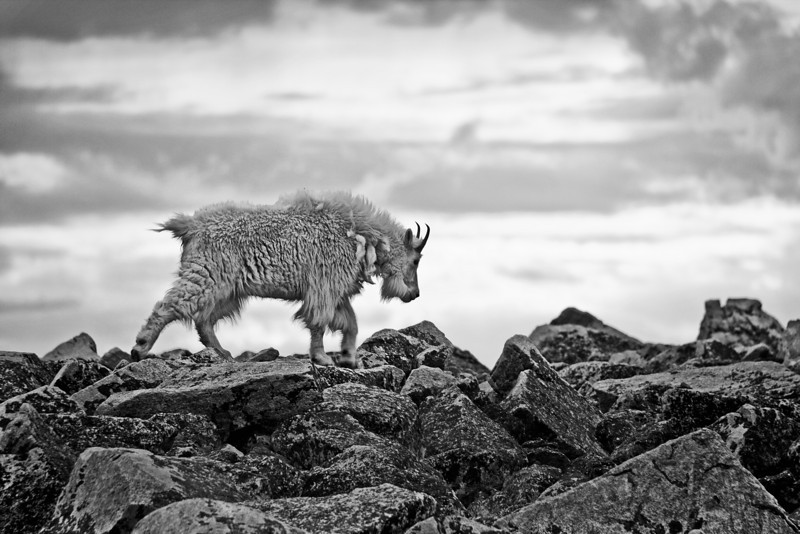 Mountain Goat on Froze-to-Death Plateau, Absaroka-Beartooth Wilderness, MT