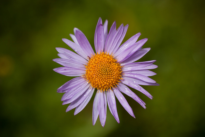 Alpine Aster, Lake Plateau Region, Absaroka-Beartooth Wilderness