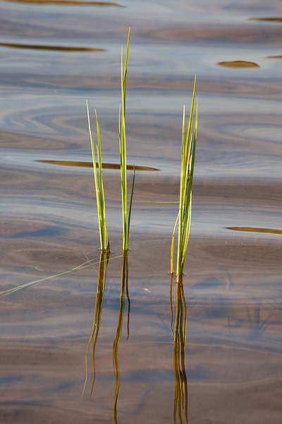Reeds in Lake Columbine<br /> Absaroka-Beartooth Wilderness, MT