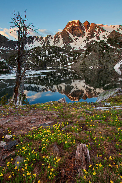 Glacier Lily at Pine Creek Lake, Absaroka-Beartooth Wilderness, MT