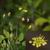 Yellow Pimpernel (Taenidia intergerrima)