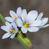 Stout Blue-Eyed Grass