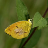 Sleepy Orange (Abaeis nicippe)