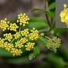 Smooth Meadow Parsnip (Thaspium trifoliatum)