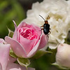 Soldier Beetle on rose