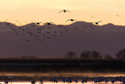 Geese On Approach