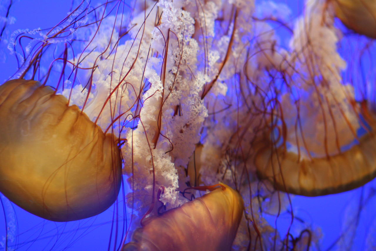 "Sea Nettles (Jellyfish), Monterey Bay Aquarium. Chosen as one of the preloaded display images on the new 10"" Google Nexus tablet."