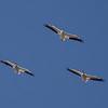 American White Pelicans, Elkhorn Slough, August 21, 2014