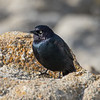Brewers Blackbird at Point Pinos