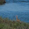 Long-billed Curlew, Elkhorn Slough