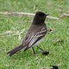 Black Phoebe, Laguna Grande Park