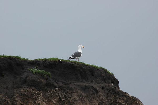 Sea Gull North of Monterey Bay, CA. <br /> <br /> February 2005