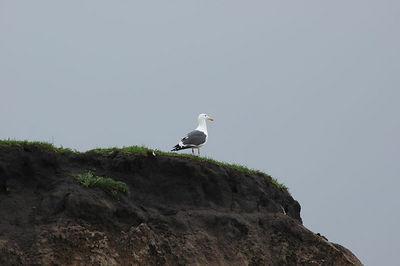 Sea Gull North of Monterey Bay, CA.   February 2005