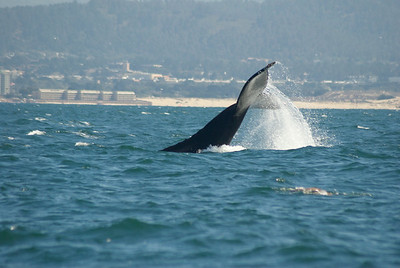 Monterey Humpbacks August 2014