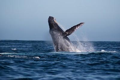 Monterey Whales, September 2015