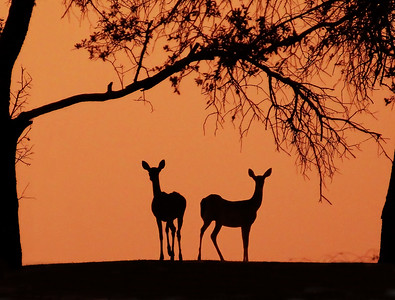 Pre-sunrise glow behind two deer on Lake Waco 9-12-2011. The wildfire smoke has created some great orange glows at sunrise and sunset this summer.