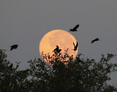 An early morning murder of crows in front of the full moon set September 12, 2011