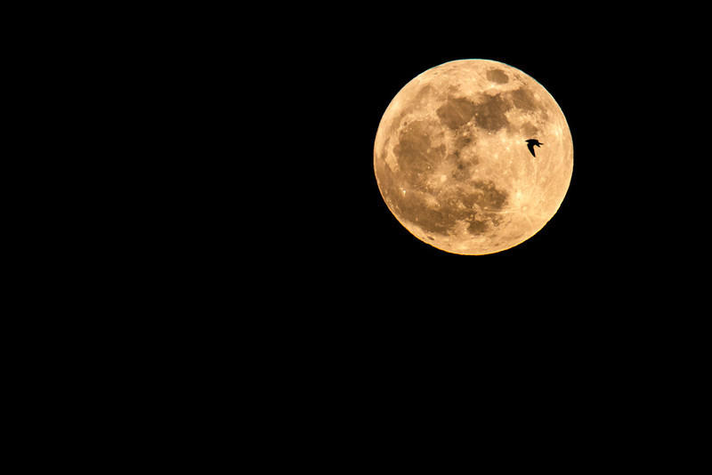 "A seagul flies across the May 5, 2012 full moon as seen from Montreal.  This was the closest full moon of the year, referred to as a ""super moon""."