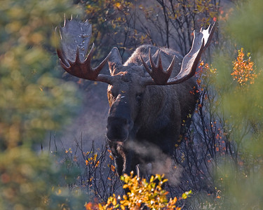 This bull Moose photograph was captured early this fall morning, as he came charging towards the park road within Denali National Park, Alaska, breathing heavily in search of a cow (9/09).  This photograph is protected by the U.S. Copyright Laws and shall not to be downloaded or reproduced by any means without the formal written permission of Ken Conger Photography.