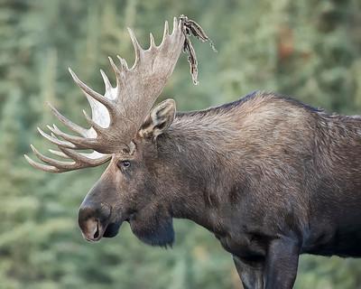 Denali National Park Bull Moose