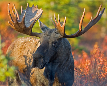 This majestic bull Moose photograph was captured early this fall morning as he approached the park road within Denali National Park, Alaska (9/09).  This photograph is protected by the U.S. Copyright Laws and shall not to be downloaded or reproduced by any means without the formal written permission of Ken Conger Photography.