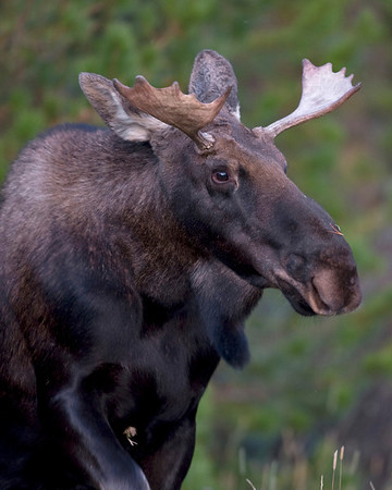 This photograph of a young bull Moose was captured in Rocky Mountain National Park, Colorado (9/08). He was exiting the woods near the road.  He was obviously habituated and allowed a closer approach that normal without disturbance.  I was happy that he gave the camera a look before entering the willows.  This photograph is protected by the U.S. Copyright Laws and shall not to be downloaded or reproduced by any means without the formal written permission of Ken Conger Photography.