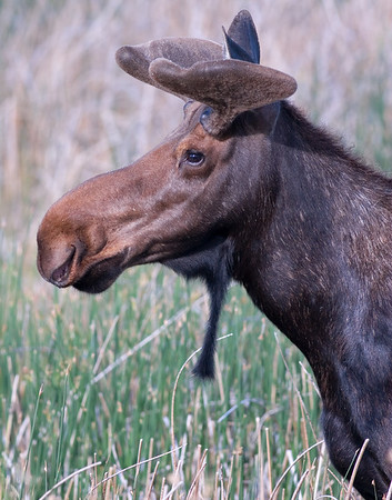 This bull Moose in velvet photograph was captured in Camas National Wildlife Refuge, ID (6/07).   This photograph is protected by the U.S. Copyright Laws and shall not to be downloaded or reproduced by any means without the formal written permission of Ken Conger Photography.