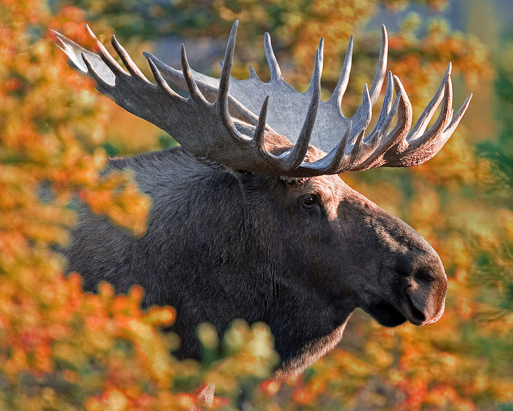 This bull Moose photograph was captured along the park road in Denali National Park, Alaska (9/10).     This photograph is protected by the U.S. Copyright Laws and shall not to be downloaded or reproduced by any means without the formal written permission of Ken Conger Photography.