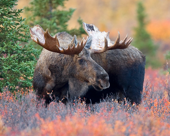 With the last of the fall colors still remaining in the tundra, this old bull Moose photograph was captured off the park road within Denali National Park, Alaska (9/09).  This photograph is protected by the U.S. Copyright Laws and shall not to be downloaded or reproduced by any means without the formal written permission of Ken Conger Photography.