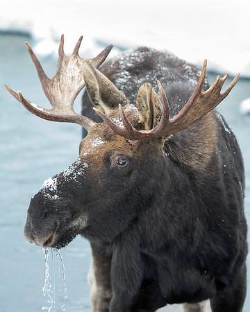 This photograph of a Moose that just finished drinking was captured in Yellowstone National Park, Wyoming (1/14). This photograph is protected by the U.S. Copyright Laws and shall not to be downloaded or reproduced by any means without the formal written permission of Ken Conger Photography.