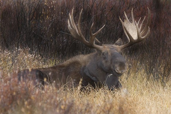 This bull Moose photograph was taken in the Oxbow Bend area of Grand Teton National Park.  After watching him for awhile, he decided to lay down.  When he looked my way, captured this image (10/05).