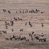 Elk Rut Rocky Mtn NP