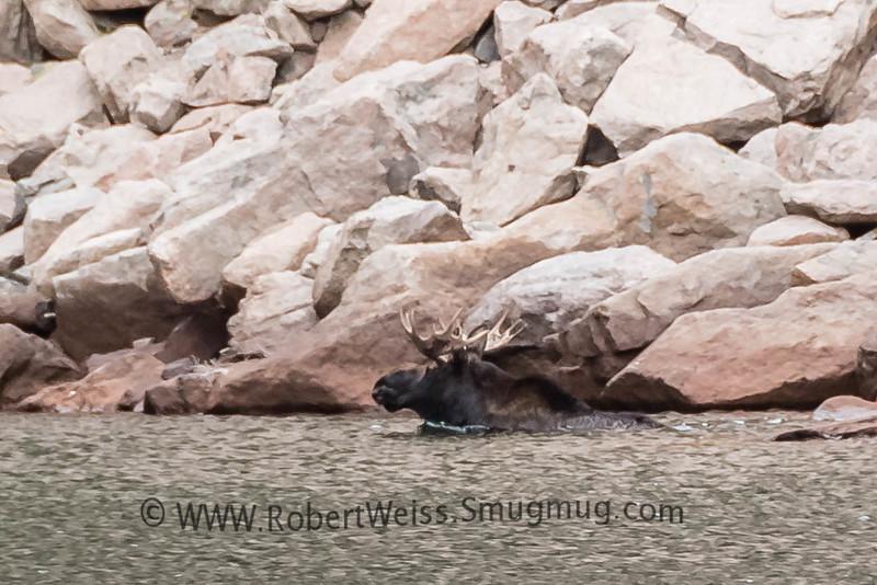 Moose in Emerald Lake