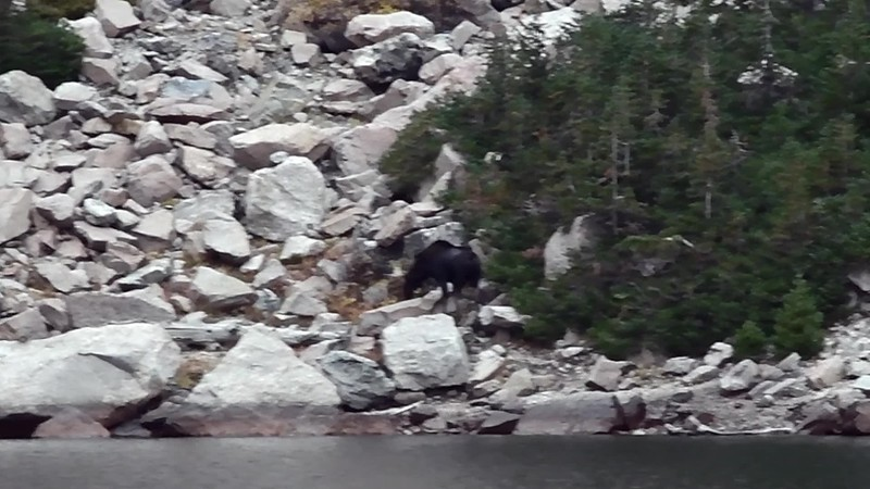 Moose at Emerald Lake