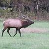 Elk Rut GSM NP