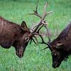 Elk Rut, Oconaluftee Visitor Center, Great Smokey Mountain National Park.