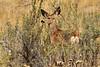 Mule deer, Winthrop WA (10)