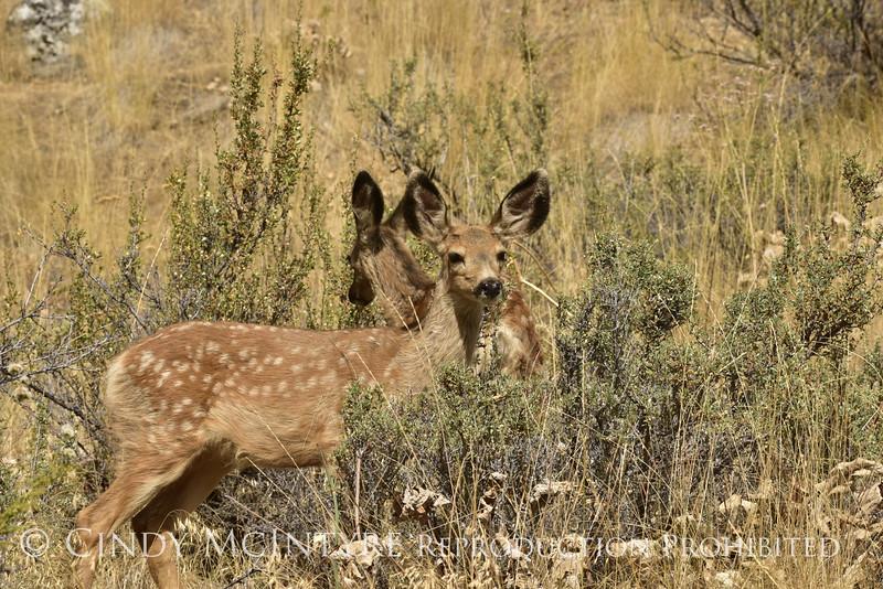 Mule deer, Winthrop WA (6)