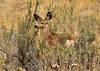 Mule deer, Winthrop WA (11)